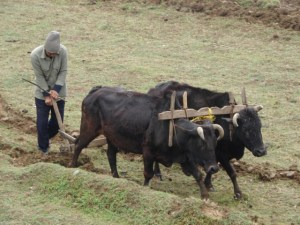 ox-plow